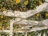 yellow allamanda lyford cay bahamas 10x22