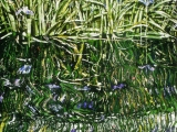 wild-irises-2-31x22-