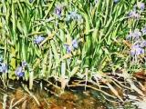 wild-irises-30x22-1